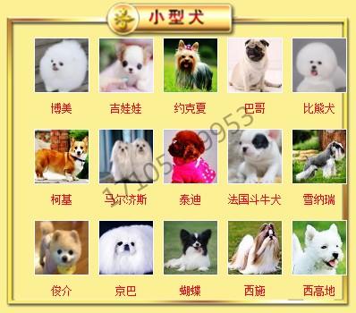狗场直销出售徐州超小体泰迪犬 茶杯玩具血系多只供选6