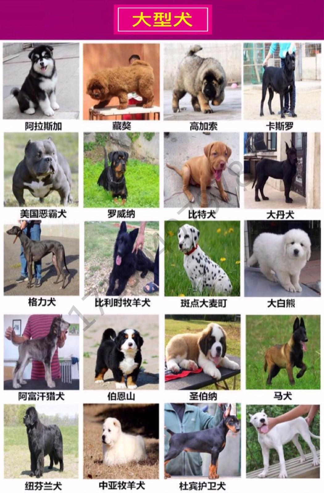 最大犬舍出售多种颜色喜乐蒂保证品质完美售后8