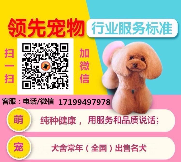 最大犬舍出售多种颜色喜乐蒂保证品质完美售后5