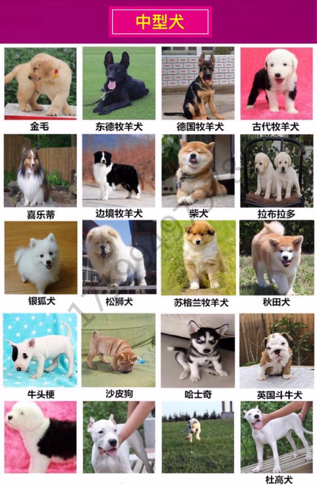 最大犬舍出售多种颜色喜乐蒂保证品质完美售后7