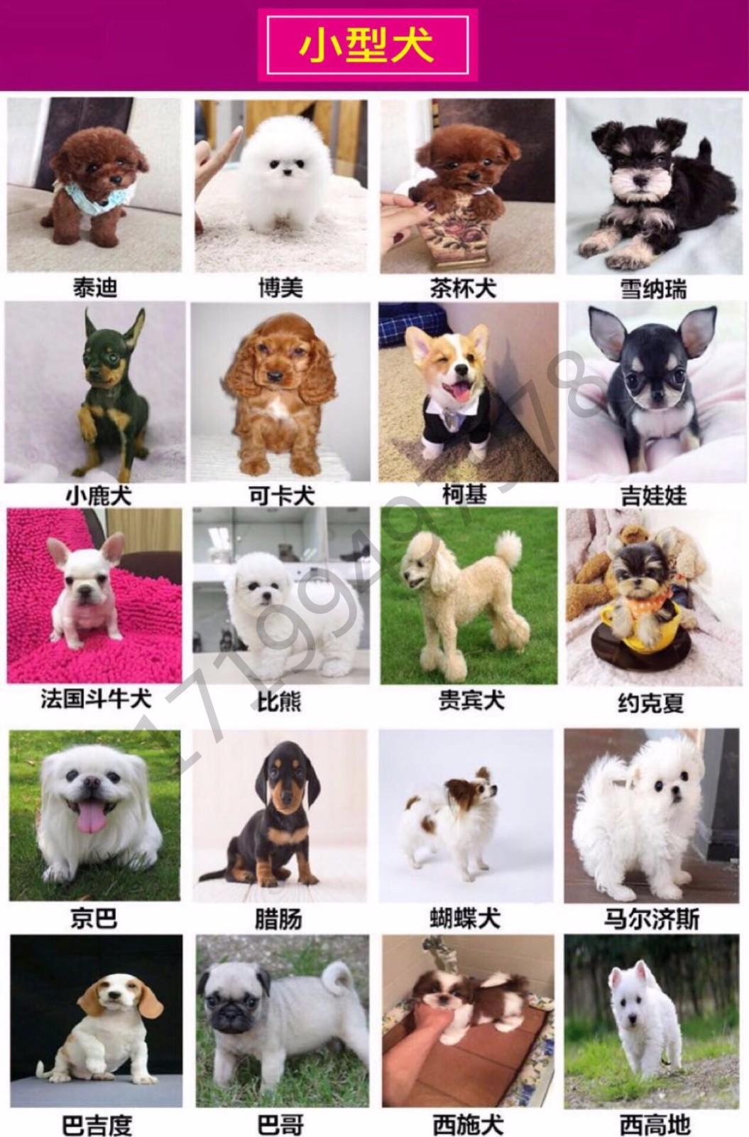 最大犬舍出售多种颜色喜乐蒂保证品质完美售后6