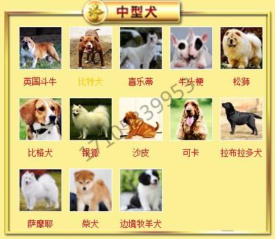 狗场直销出售徐州超小体泰迪犬 茶杯玩具血系多只供选7