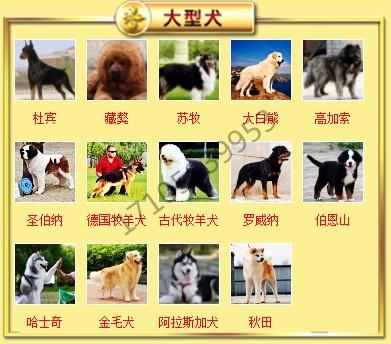 狗场直销出售徐州超小体泰迪犬 茶杯玩具血系多只供选8