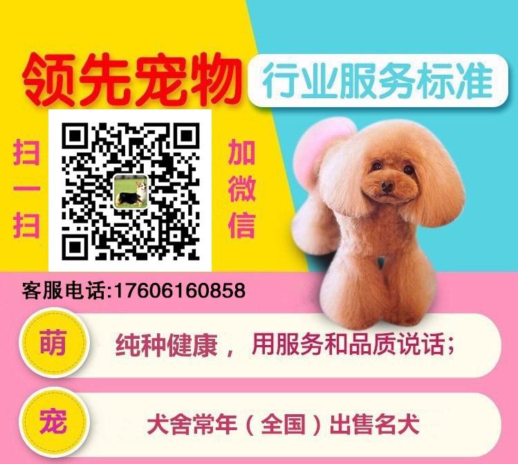 活泼可爱玩具茶杯血系的保定泰迪犬火爆热卖中 签协议5
