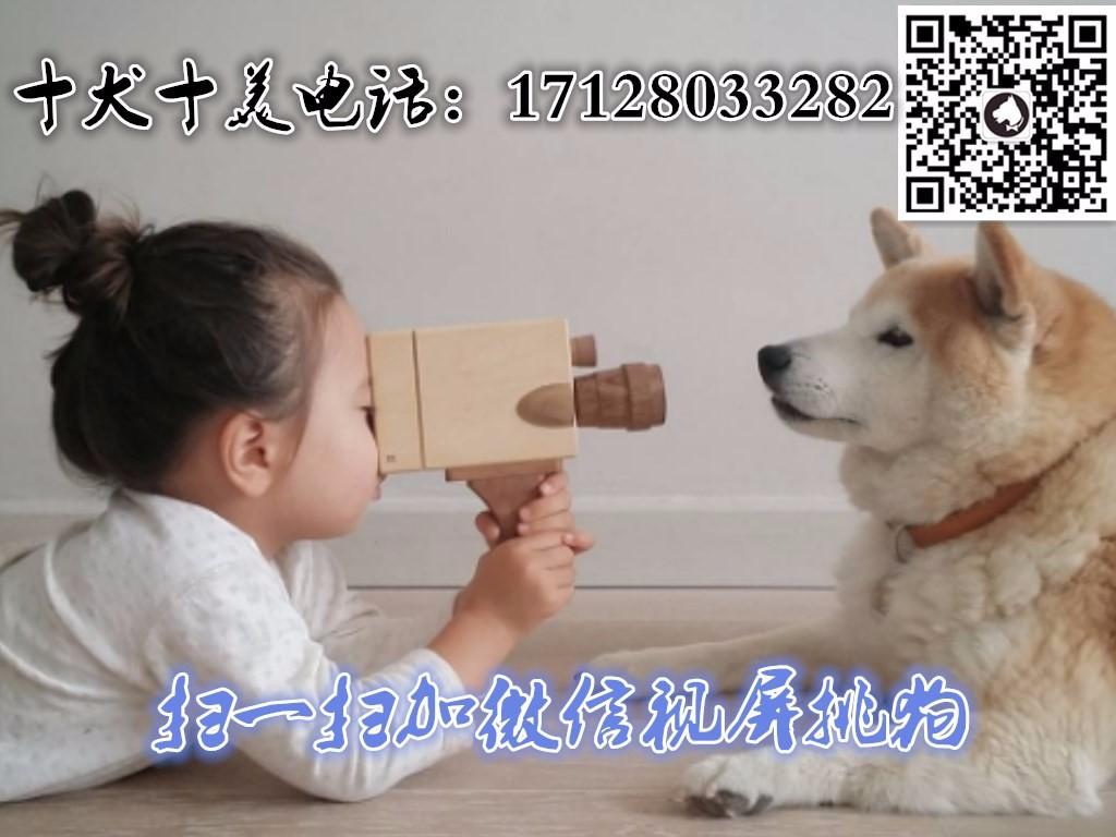 出售正宗血统优秀的北京松狮真实照片视频挑选5