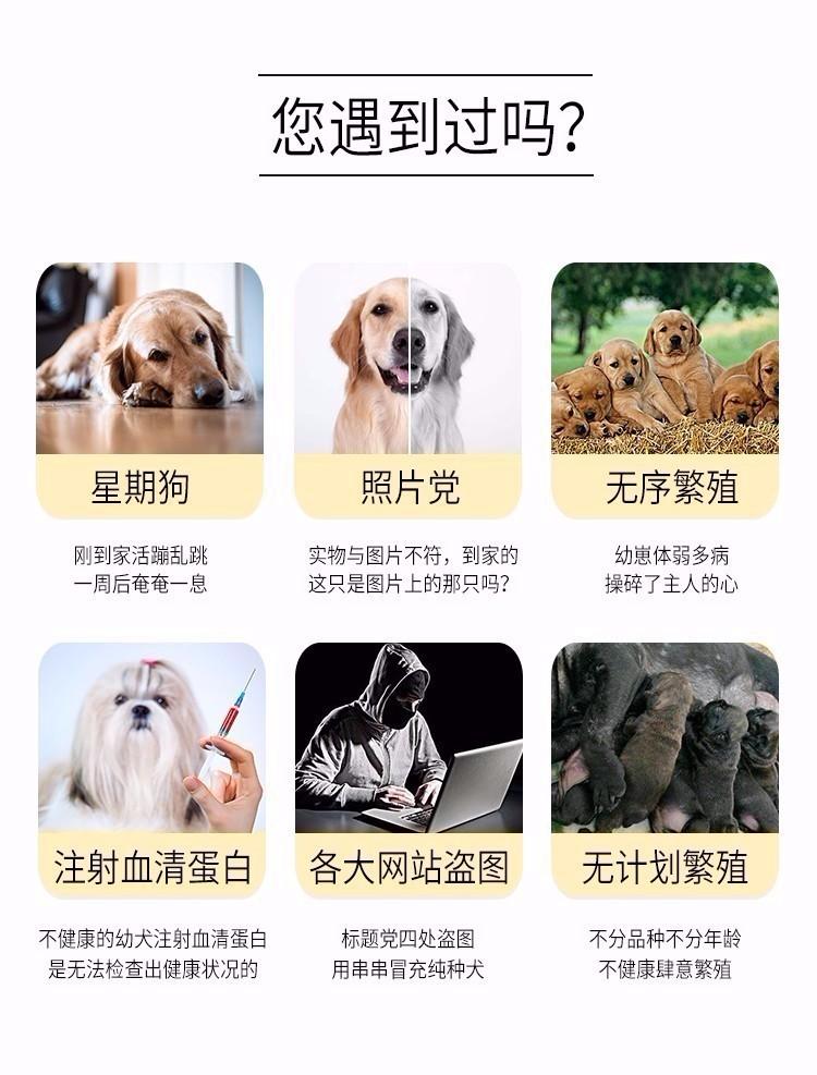 武汉养殖场直销完美品相的格力犬终身完善售后服务8