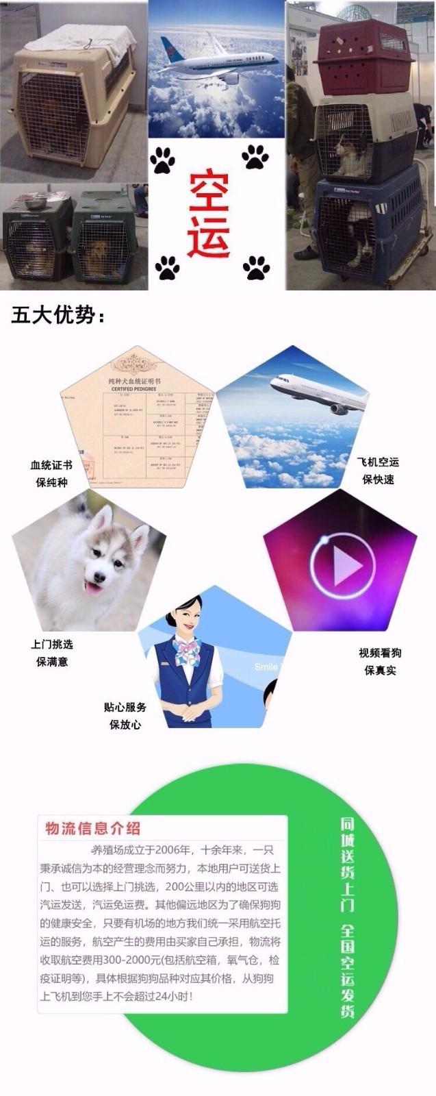 武汉养殖场直销完美品相的格力犬终身完善售后服务11