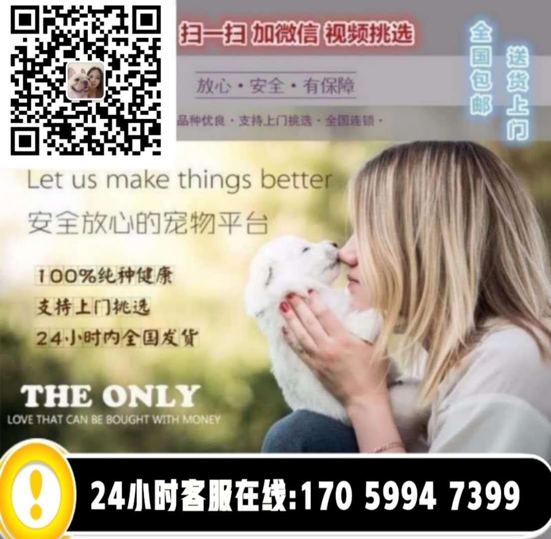 莆田出售纯种茶杯犬博美茶杯 泰迪茶杯均有5
