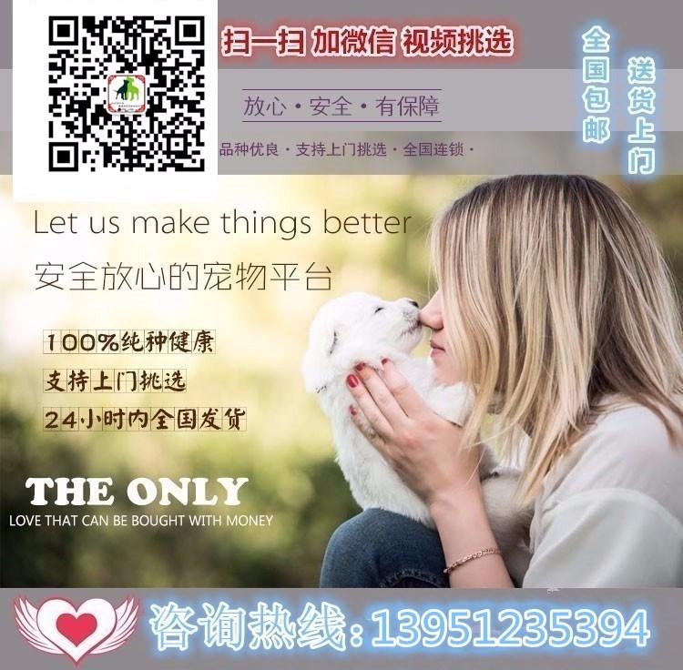 出售天津茶杯犬健康养殖疫苗齐全可以送货上门6