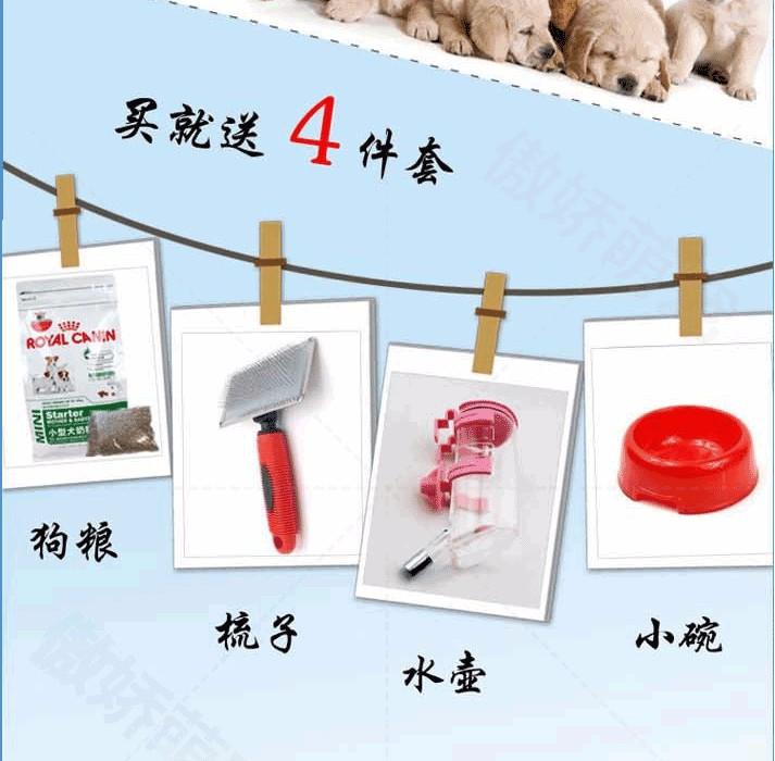 出售天津茶杯犬健康养殖疫苗齐全可以送货上门8