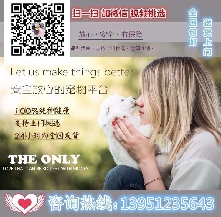 沈阳知名犬舍出售多只赛级腊肠犬包养活包退换5