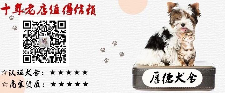 延安泰迪犬宝宝出售保证健康品质优良专业喂养精心繁殖5