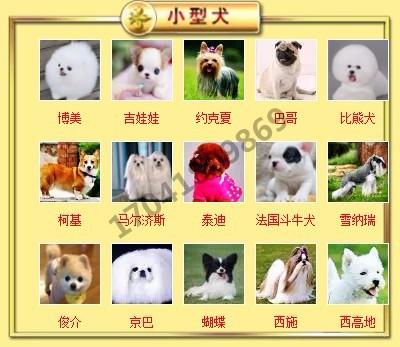 正规犬舍高品质腊肠犬带证书微信视频看狗6