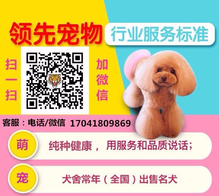 正规犬舍高品质腊肠犬带证书微信视频看狗5