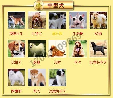 正规犬舍高品质腊肠犬带证书微信视频看狗7