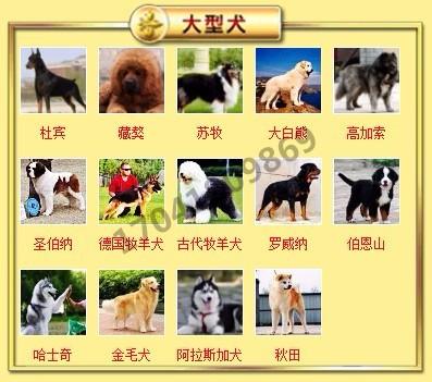 正规犬舍高品质腊肠犬带证书微信视频看狗8