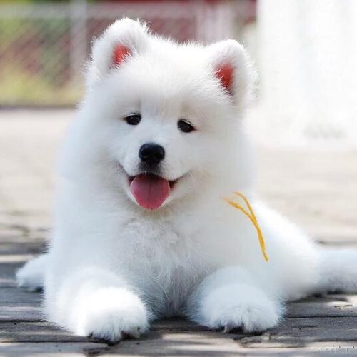 虎威犬舍白魔法血系的极品萨摩幼犬宝宝接受预定