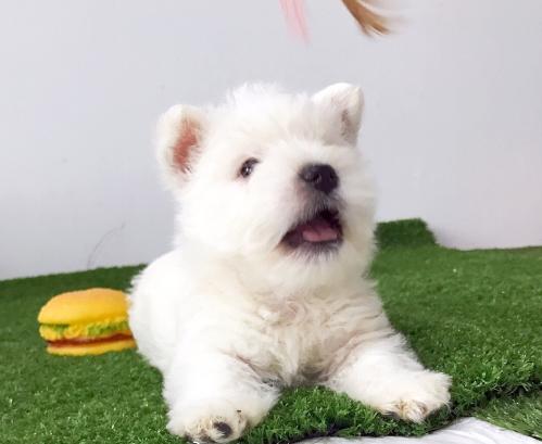 皇家西高地犬 纯种品质 健康第一 三个月幼犬开始出售