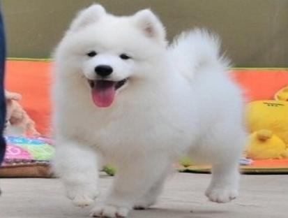 """新盟皇家犬业极品笑脸的萨摩宝宝""""纯正CKU血统3"""