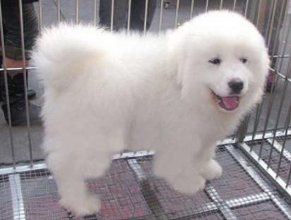 新盟皇家犬业出售顶级大白熊宝宝 优质品种 健康第一