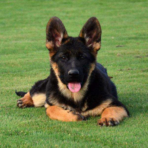 CSV认证 德国牧羊犬专业养殖基地 高品质幼犬待售