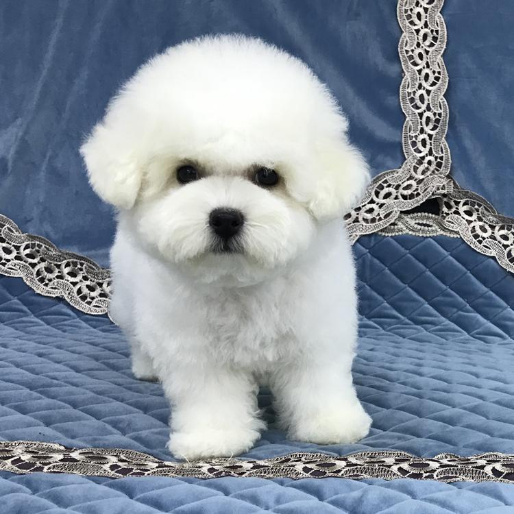 纯种法系雪白卷毛比熊宝宝100天大 购买可签订购犬协议