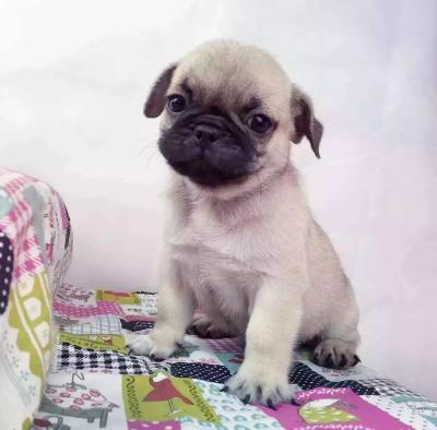 赛级巴哥宝宝 纯正CKU血统 信誉第一 皇家犬业巴哥犬