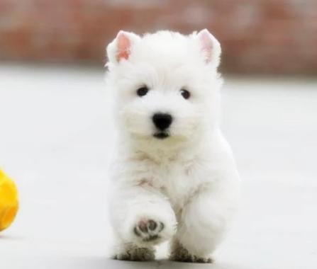 冠军级西高地宝宝待售皇家犬舍为您提供高品质犬宝宝