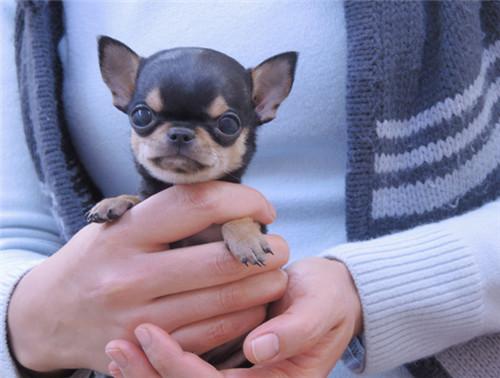 购买纯种墨西哥血统赛级吉娃娃 请点击 幼犬待售中