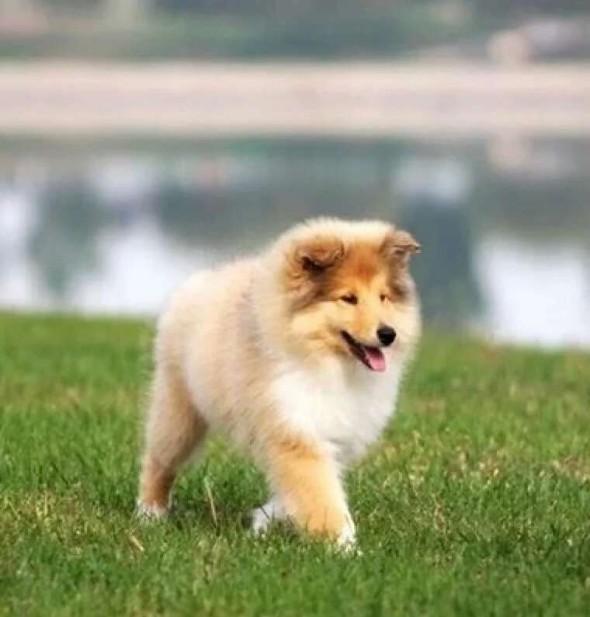 爱名犬 爱苏牧 本犬舍专业繁殖赛级高品质苏格兰牧羊犬