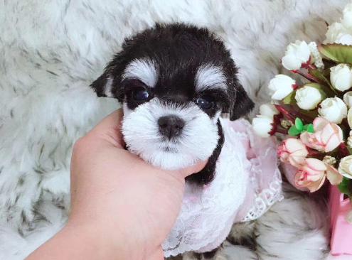 精品雪纳瑞 高品质超可爱幼犬 小伙伴们赶紧来抱啦1