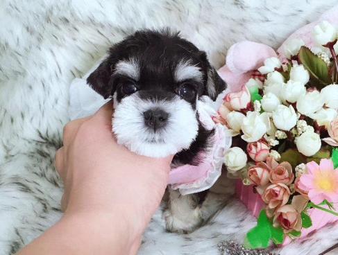 精品雪纳瑞 高品质超可爱幼犬 小伙伴们赶紧来抱啦3