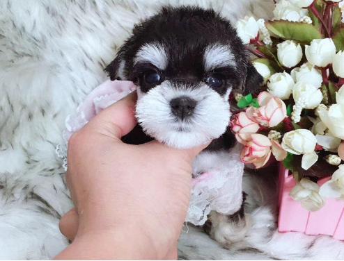 精品雪纳瑞 高品质超可爱幼犬 小伙伴们赶紧来抱啦