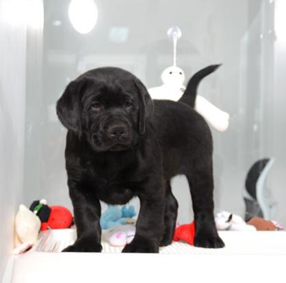 哪里出售纯种拉布拉多幼犬?需要的电话咨询