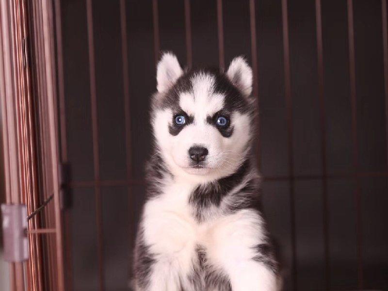 北京名犬俱乐部出售极品西伯利亚小哈