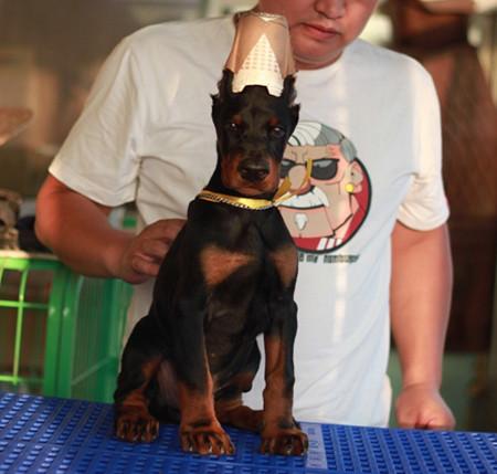 出售纯种杜宾幼犬 健康保证 信誉保证 诚信保证
