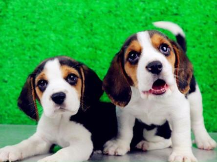 比格犬 纯种比格幼犬 米格鲁犬 狩猎犬