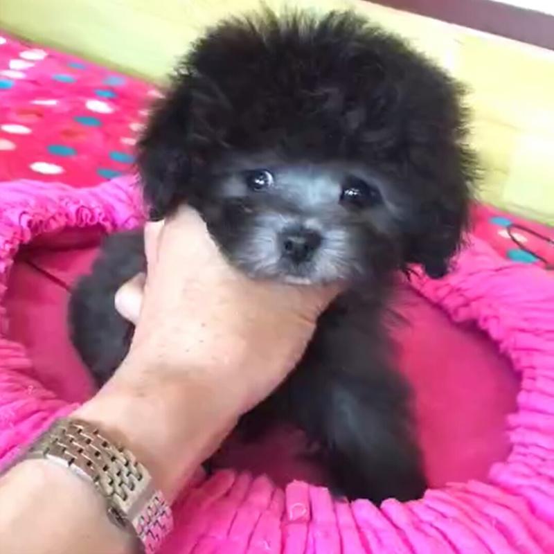 北京中美宏泰犬业 出售高品质泰迪熊 FCI认证犬业