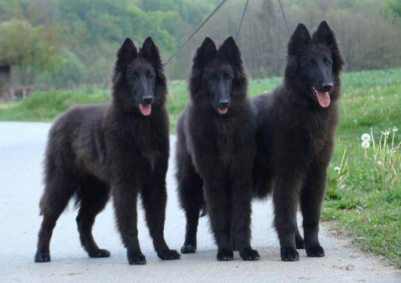极品、比利时牧羊犬在这里、优惠纯种和健康、CKU认证