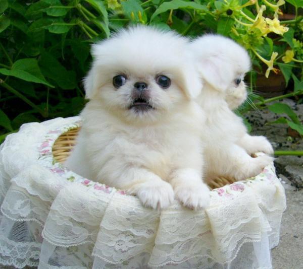 纯种京巴犬,品质好,包健康,可送货
