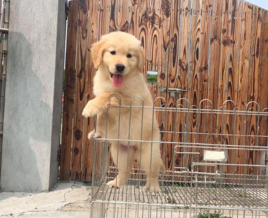 金黄色的导盲犬 金毛犬 幼崽待售中