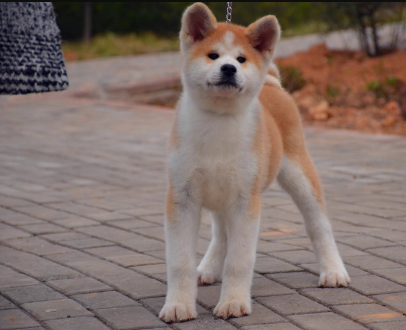 秋田犬业 出售精品秋田幼犬 带血统