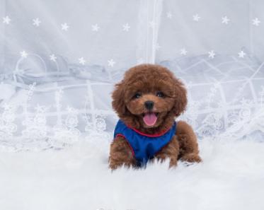 超萌法国纯种泰迪熊狗狗特价出售
