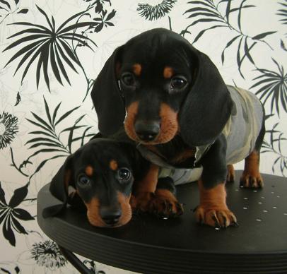 犬舍直销血统纯正腊肠犬宝宝 CKU认证犬业。