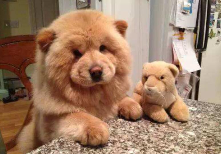 想拥有一条正宗的松狮吗?挑选的时候要注意这几个方面