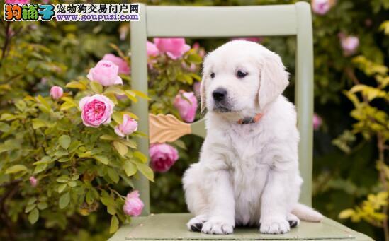 想要挑选一直优良血统的金毛犬,你要这么做