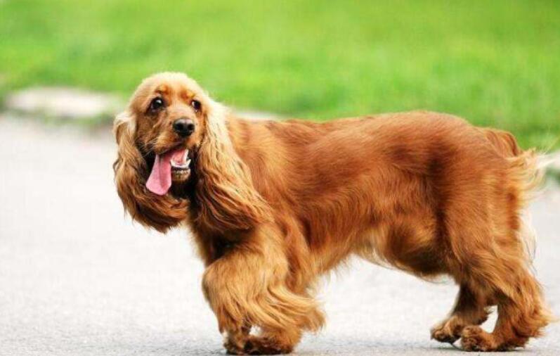 可卡犬聪明漂亮,挑选的时候一定要注意,可别选错了