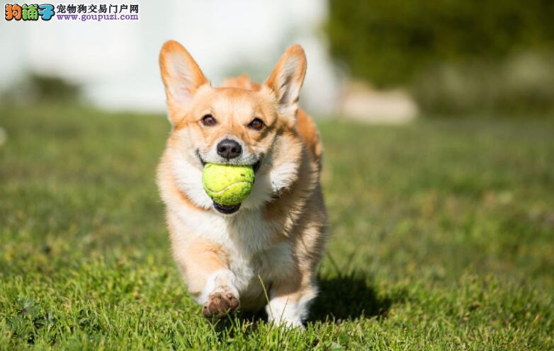 柯基犬好看又可爱,怎样才能买到颜值高的柯基呢