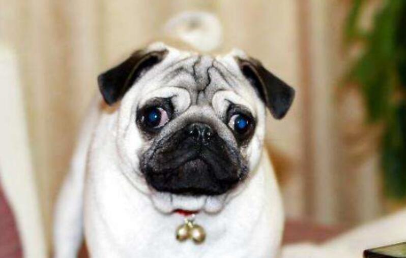 本土最受欢迎的巴哥犬,挑选的时候也要注意这几点