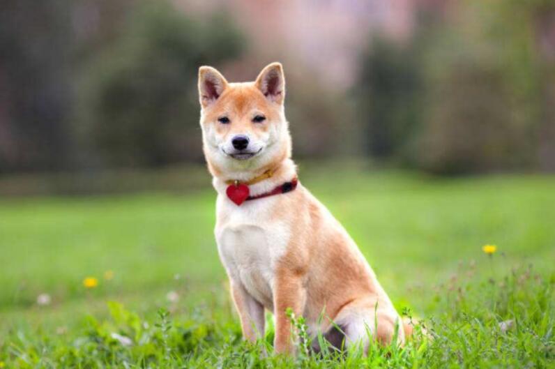 怎样挑选一只适合饲养的柴犬,以下几个方法很实用